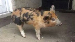 Nicknamed Cookie, the lost pig found in Blackpool