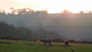 Long Horned cattle in Leicestershire