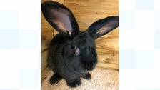 Simon is a continental giant rabbit