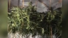 Police unearthed a haul of cannabis thought to be worth £250,000