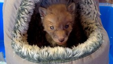 Fox cub saved by firefighters from freezing drain