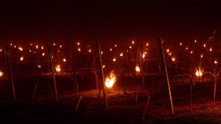 Wine maker keeps grapes warm in cold weather by lighting over 1,000 candles