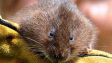 Water voles have experienced the most severe decline of any wild mammal in the UK