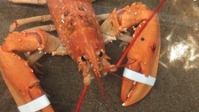 'One-in-30million' orange lobster caught off Wales