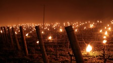 Candles protect grape vines from cold snap