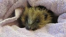 Smoky the hedgehog returns to the fire station