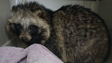 The raccoon dog has been nicknamed Cedric by RSPCA staff.