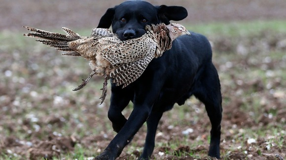 A labrador retriever carries a dead pheasant during a pheasant hunt in Lewknor, southern England.