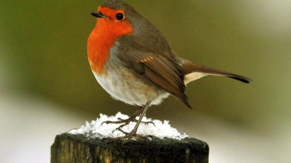 A robin sits on a snow covered fence post in Northumberland