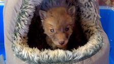 Baby fox recovering after getting stuck down drain