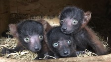 The three endangered red-ruffed lemurs