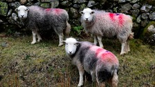 Herdwick sheep near Buttermere.