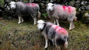 Herdwick sheep near Buttermere.