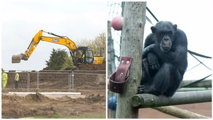 Work starts on brand new home for chimpanzees at Midlands zoo