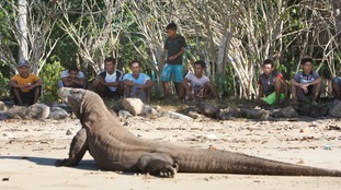 A Komodo dragon basks in the sun as people watch in Indonesia.