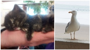 Four-week-old kitten rescued after being picked up by gulls and 'dropped from the sky' in Rhyl holiday park