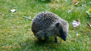 Why hedgehogs are disappearing as fast as wild tigers