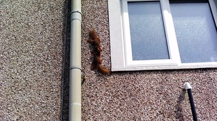 Scurry of red squirrels found living in roof of Workington house