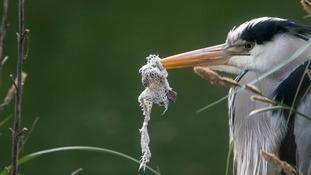 heron with netting around its beak