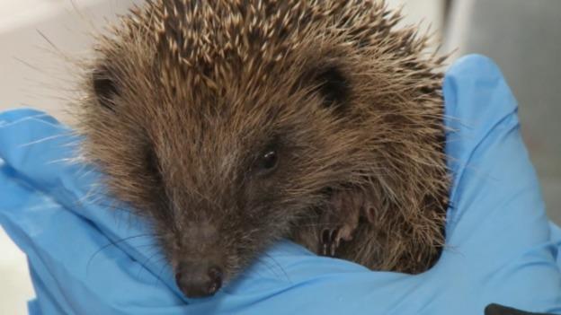 Hedgehog_SOT_for_web