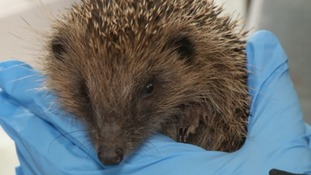 Hedgehog road signs to go up after dozens are killed