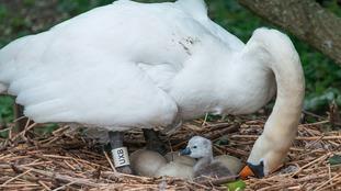 First Swan of Summer