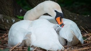 First cygnet of summer
