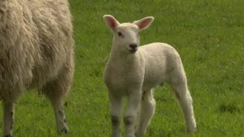 LAMBING_FOR_WEB