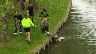 The cow being rescued from the river Cam