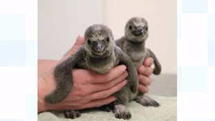 Cute penguin chicks being hand-reared in Cornwall