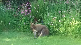 Where's wallaby? A marsupial is on the run in Cornwall