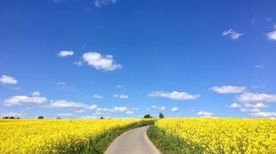 Blue sky and rape crops near Rotherham