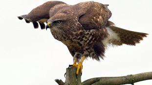 A buzzard.