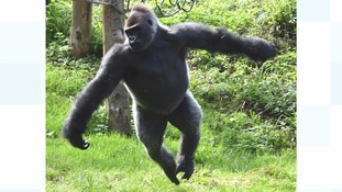 Ballet-dancing gorilla struts his stuff