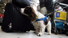 A sniffer dog searches luggage at an airport.