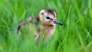 Project to protect black-tailed godwits from global extinction