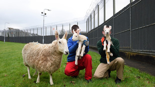 Sheep reared at prison on show at Balmoral