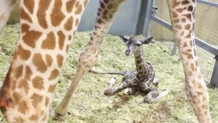 Zoo celebrates the birth of Gus the giraffe
