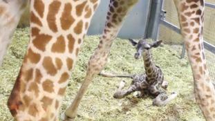 Gus the giraffe