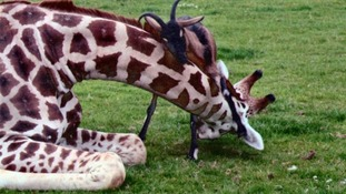 Giraffe and goat