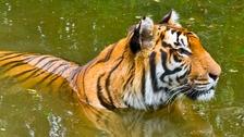 Rana enjoying a swim at Shepreth Wildlife Park in Hertfordshire.