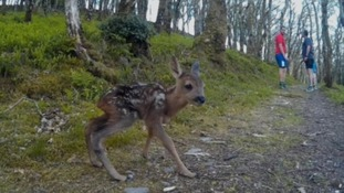 Runners have an amazing encounter with a tiny deer