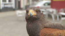 Eric, the Harris Hawk, is one of the birds being used to scare away seagulls.