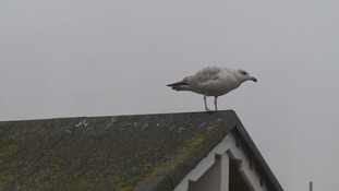 Gulls are protected under the Wildlife and Countryside Act.