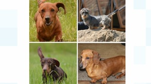 Four miniature dachshunds stolen during burglary