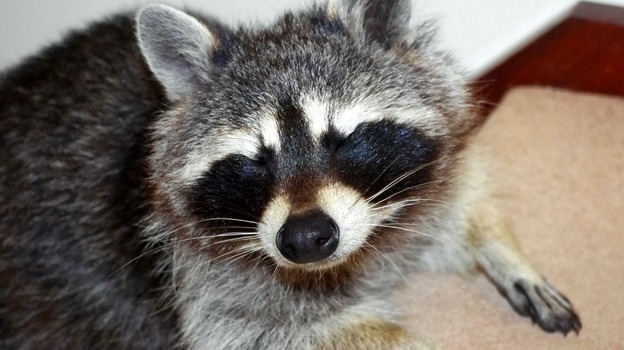 raccoon_for_web