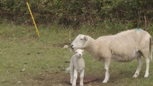 Warning to dog owners after newborn lambs killed in sheep worrying incident