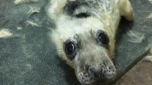 Rescued seal pups released back into wild
