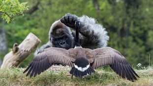 Longleat gorilla taunted by Canada goose