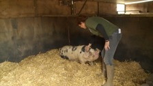 old spot pig